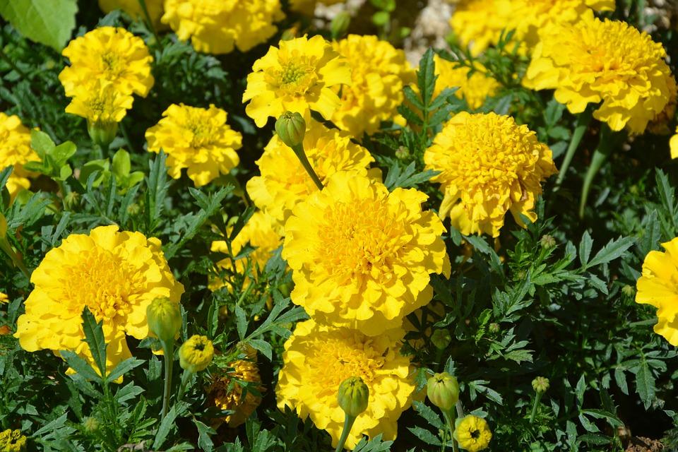 Carnations of india yellow flowers free photo on pixabay carnations of india yellow flowers nature summer mightylinksfo