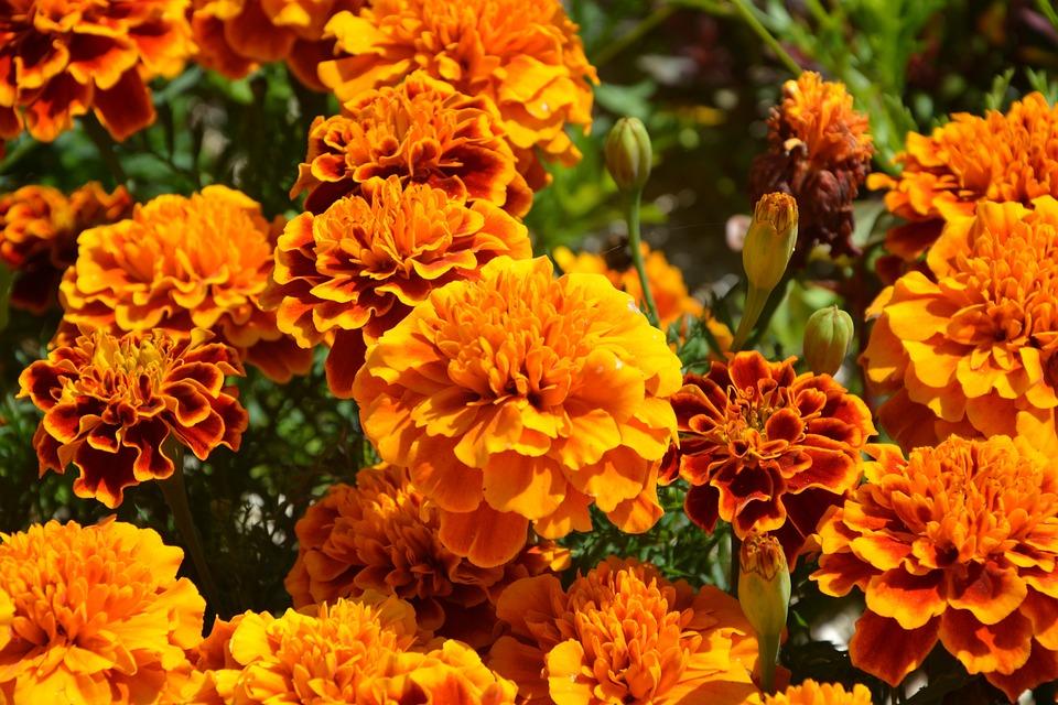 Orange Flowers Carnations Of India · Free photo on Pixabay