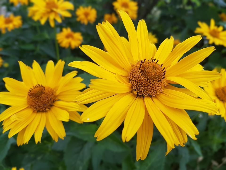 Merveilleux Fleurs, Été, Juillet, Jaune