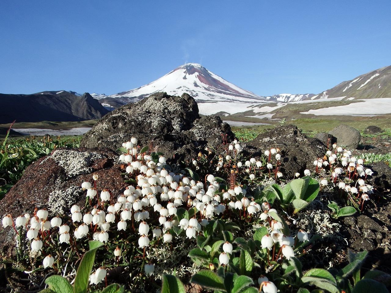 Фото цветы камчатки