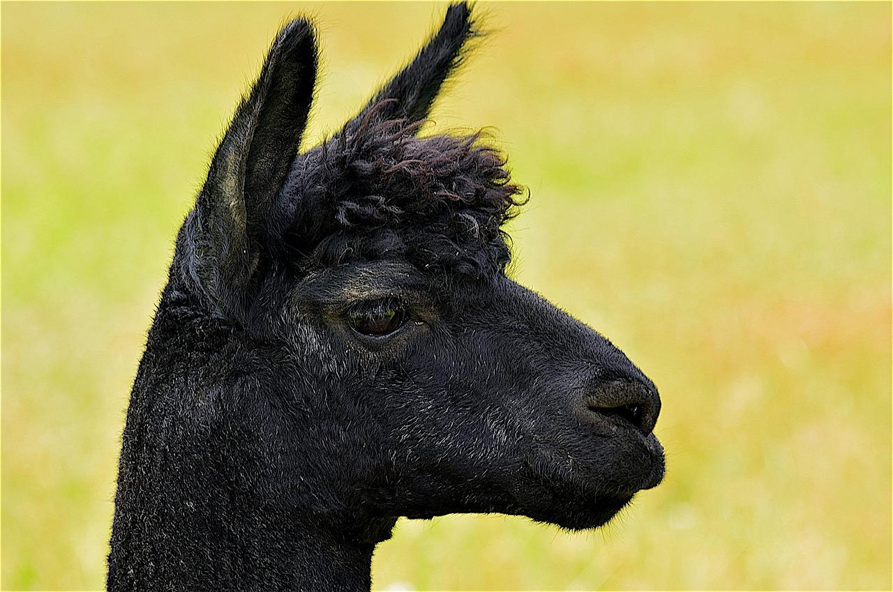черная лама картинка