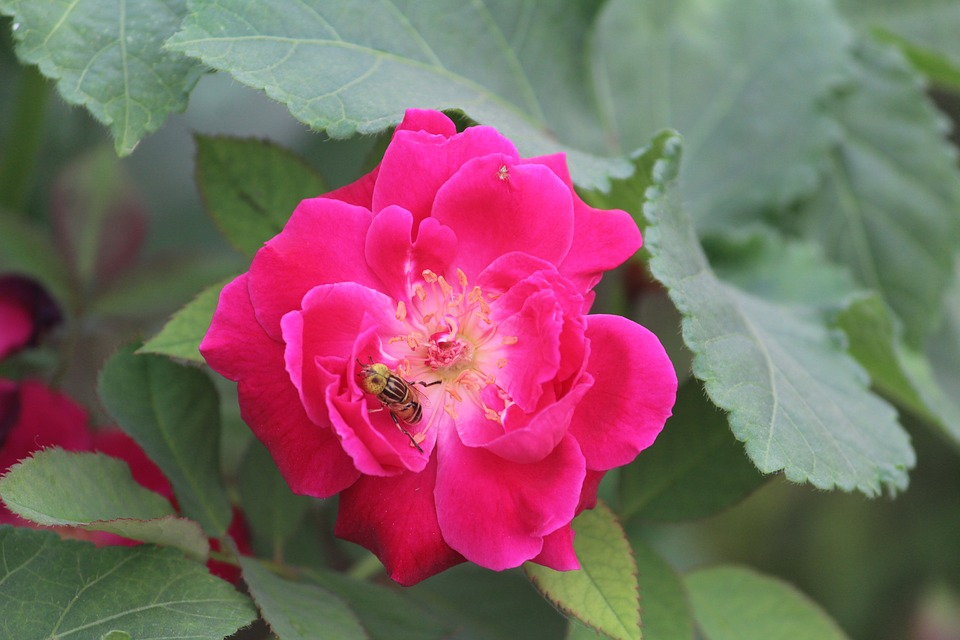 Rose, Bee On A Flower, Honey Bee, Pollination
