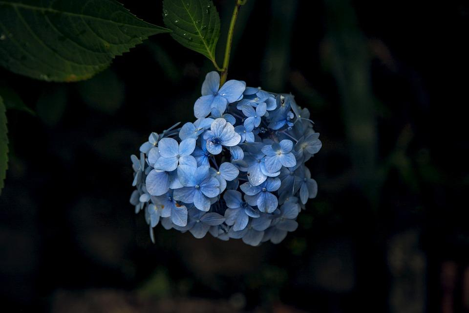 紫陽花, 鎌倉, 花, 梅雨
