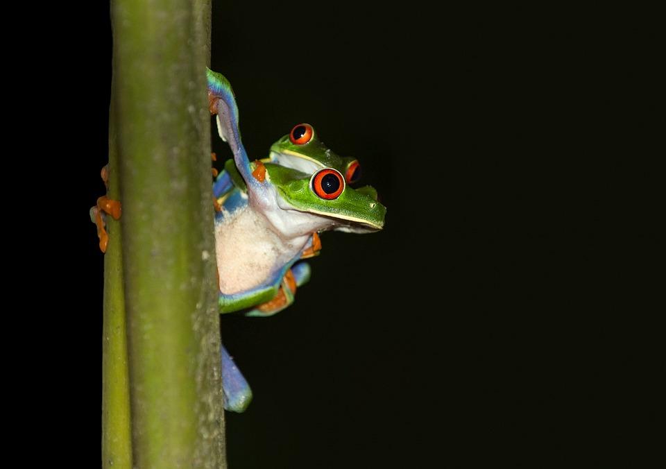 Rana, Rana Arbórea De Ojos Rojos, Costa Rica, Trópico