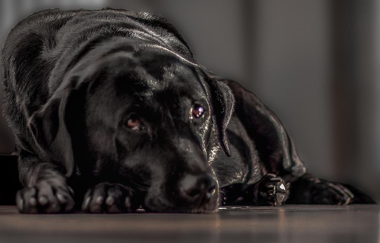 Черный пес картинки