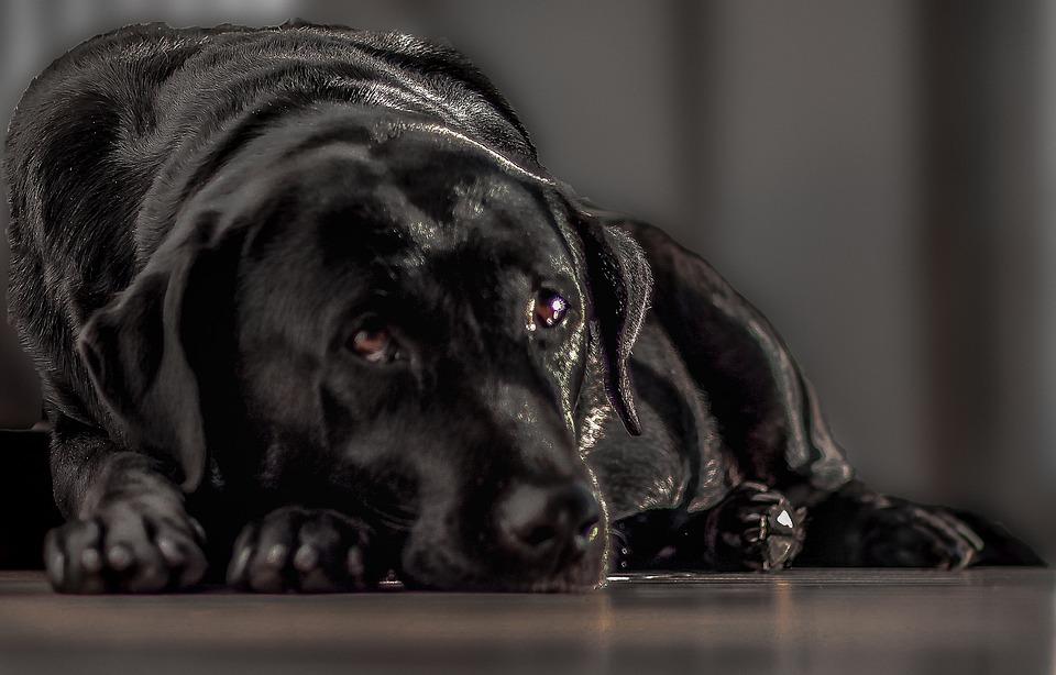 Labrador, Negro, Perro, Mujer, Dog Brasil, Brasil