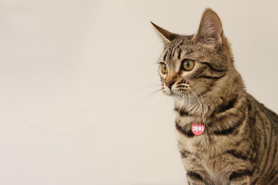 Bengal Katze Haustiere Baby Kostenloses Foto Auf Pixabay