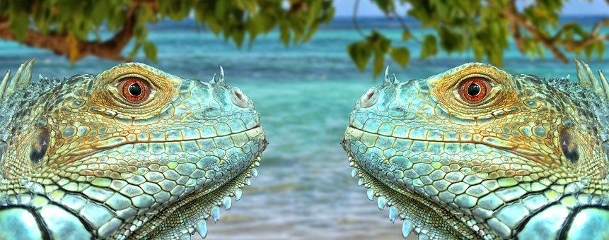 Iguana, Reptil, Lagarto, Verde, Azul