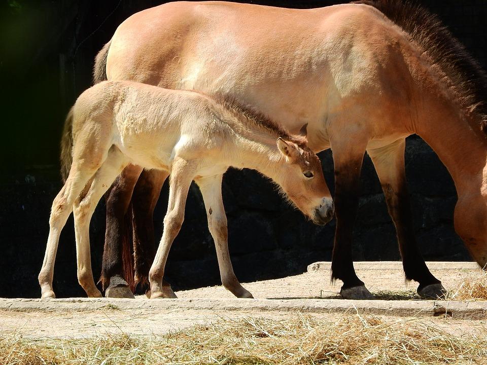 El Caballo De Przewalski, Przewalskii Equus