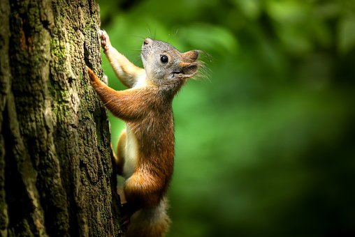 Squirrel, Forest, Rodent, Tree, Park