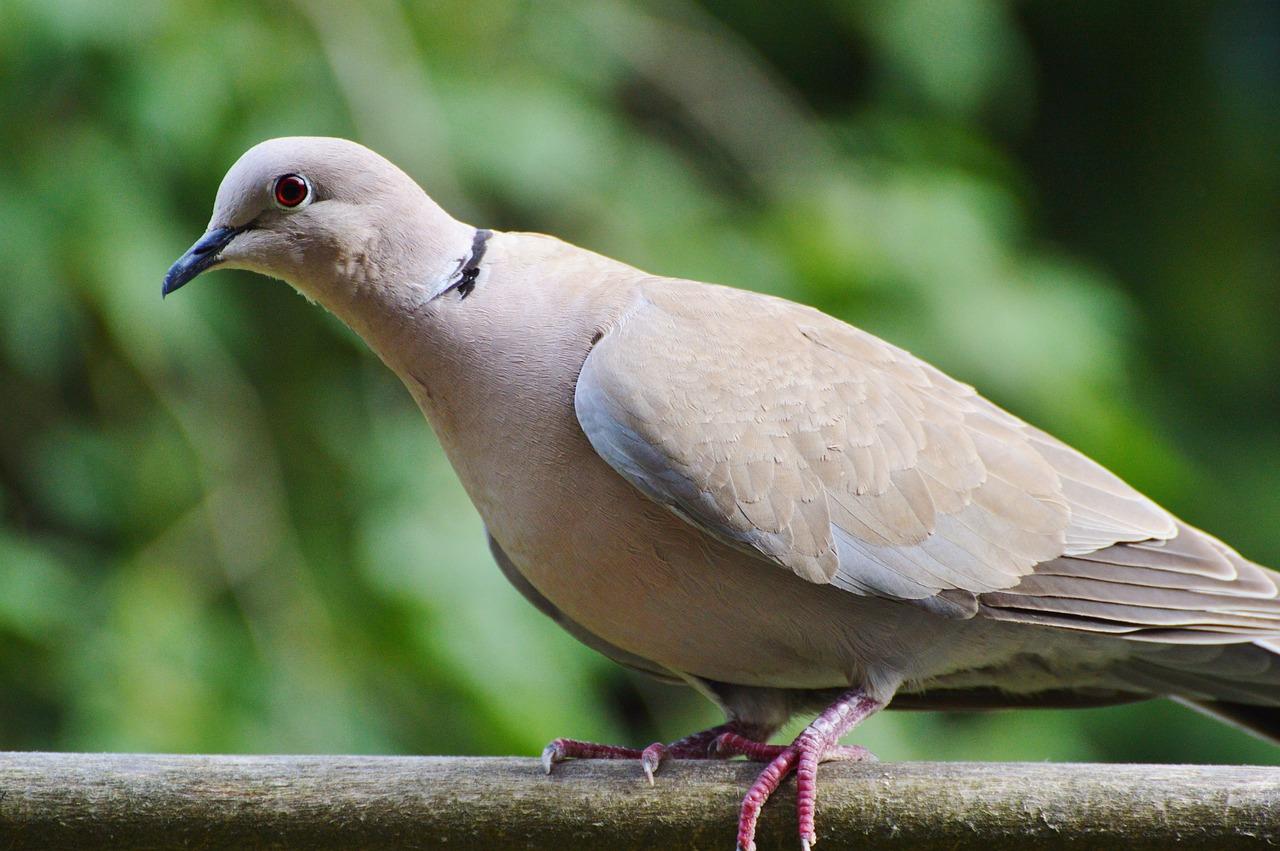 Голубь фото птицы размеры