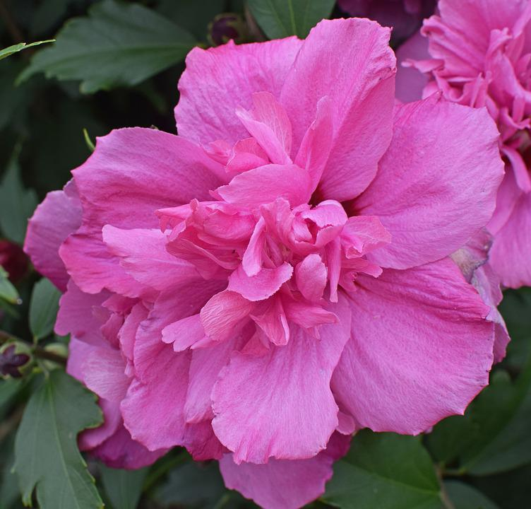 double rose of sharon flower blossom bloom tree