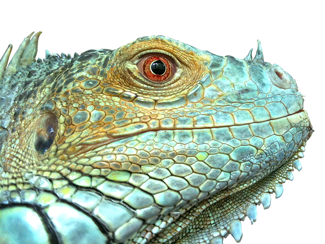 Iguana Reptile Lizard · Free photo on Pixabay