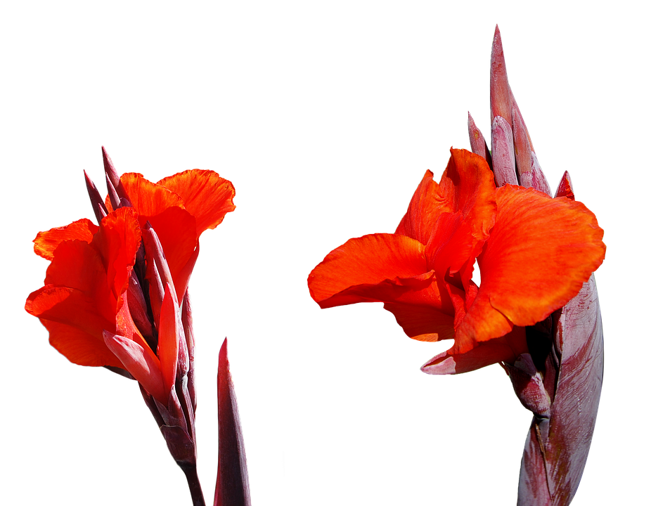 Lily Flower Png Free Image On Pixabay