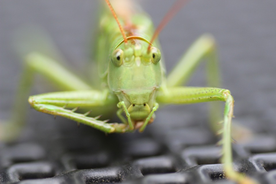 Grasshopper, Insect, Grille, Green, Close Up, Macro