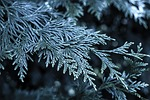 christmas tree, frost