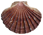 shell, scallop