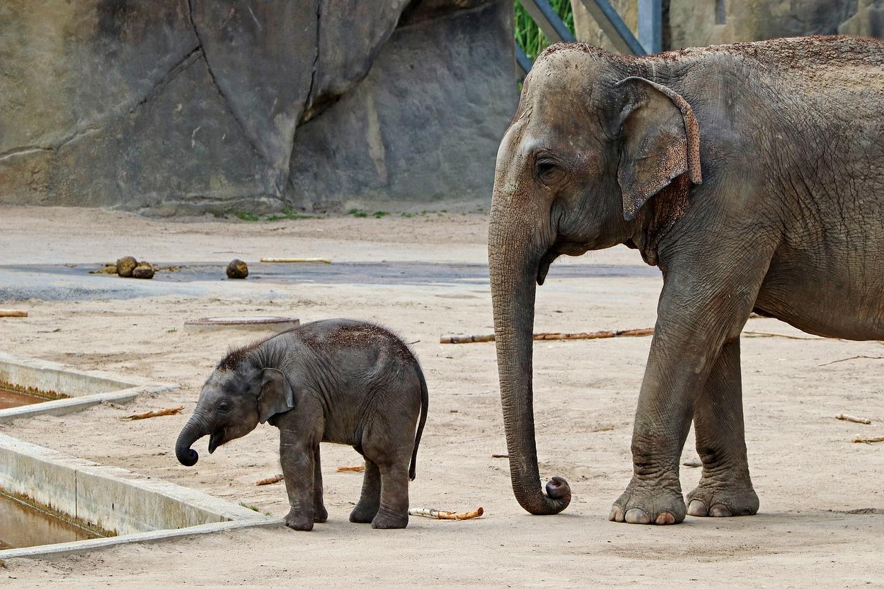 имеет картинки слон без хобота вензелями виньетками