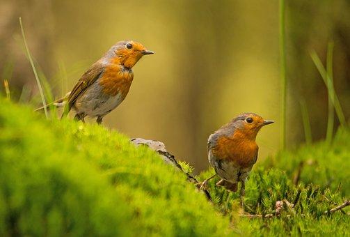Rotkehlchen, Vogel, Natur, Wald