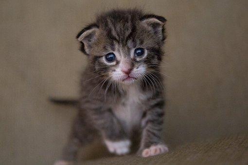 子猫, 猫, 赤ちゃん, かわいい, 動物, ハローキティ, ネコ, 毛皮, 小