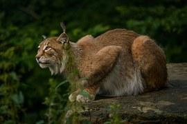 Big Wild Cats Videos