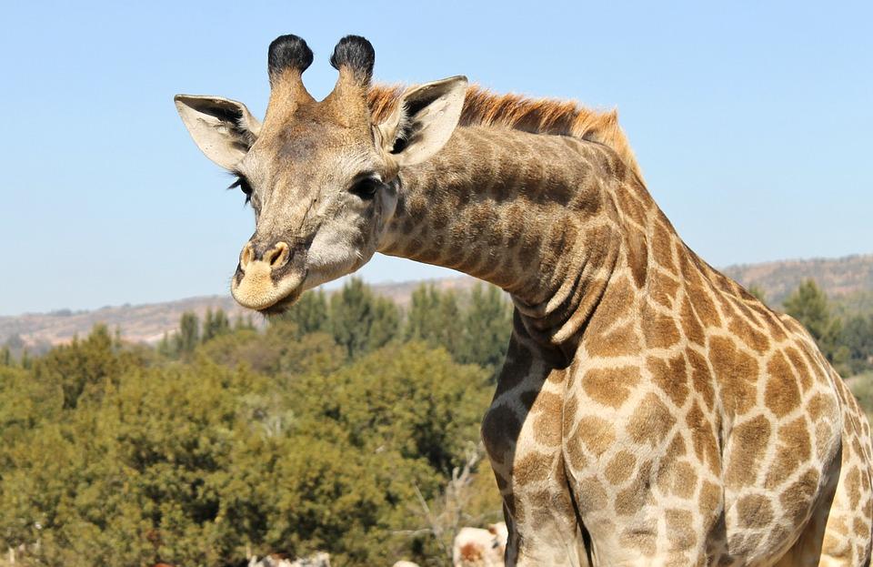 giraffe inquisitive curious 183 free photo on pixabay