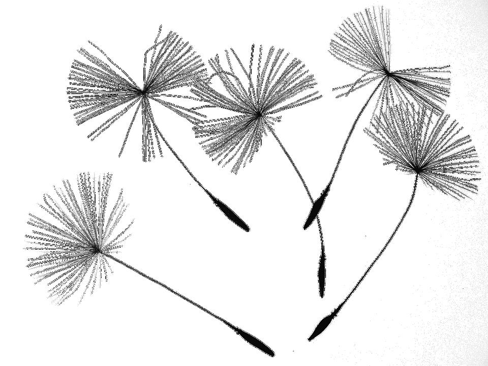 Dandelion Seeds, Dandelion, Flower, Nature, Plant, Seed