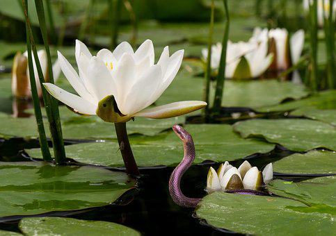 Nature, Flower, Water Lily, Water
