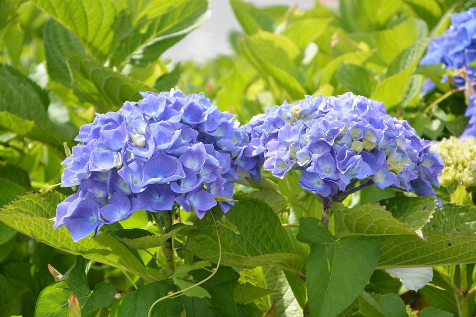 Hydrangea pretty flowers round free photo on pixabay hydrangea pretty flowers round blue green foliage mightylinksfo