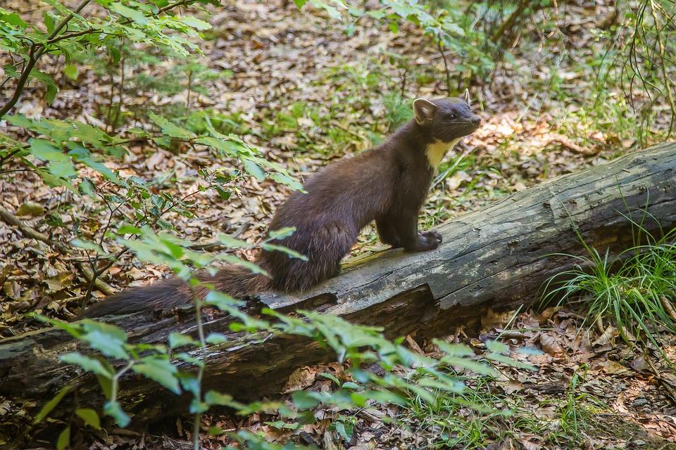 Marten, Pine Marten, Predator, Forest