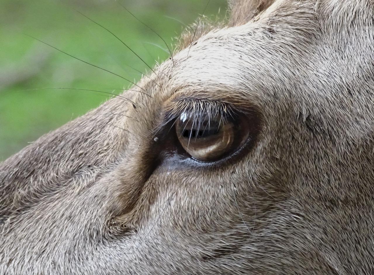 картинка глаз оленя