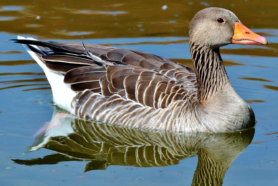 detailed look ba34d 4d4aa Wild Goose Gans Vogel - Gratis foto op Pixabay