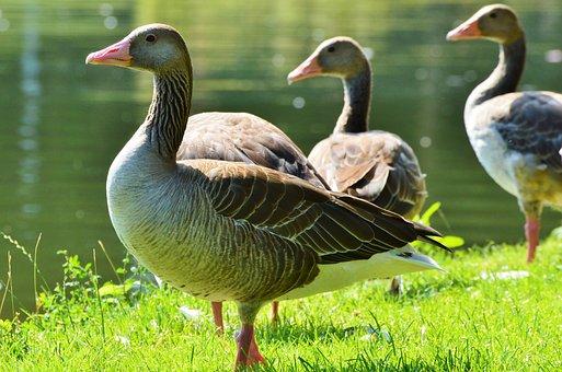 Wild Goose, Goose, Greylag Goose