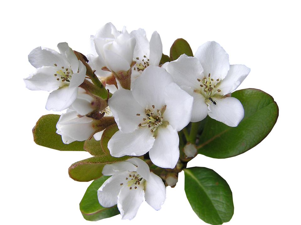Free Photo White Flower With Ant Cut Out Free Image