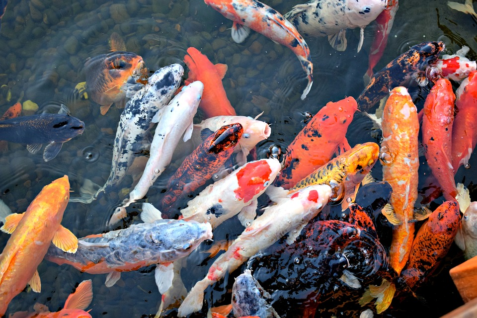 Ikan besar: Budidaya koi tumbuh subur di Blitar, Jawa Timur!