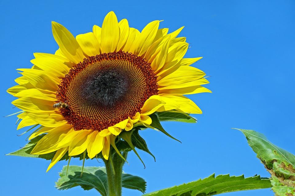 Bunga Matahari Mekar Foto Gratis Di Pixabay