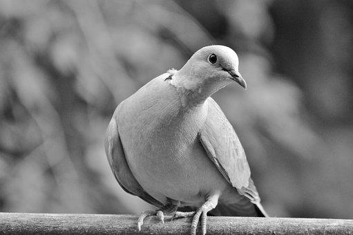 Dove, Collared, Bird, City Pigeon