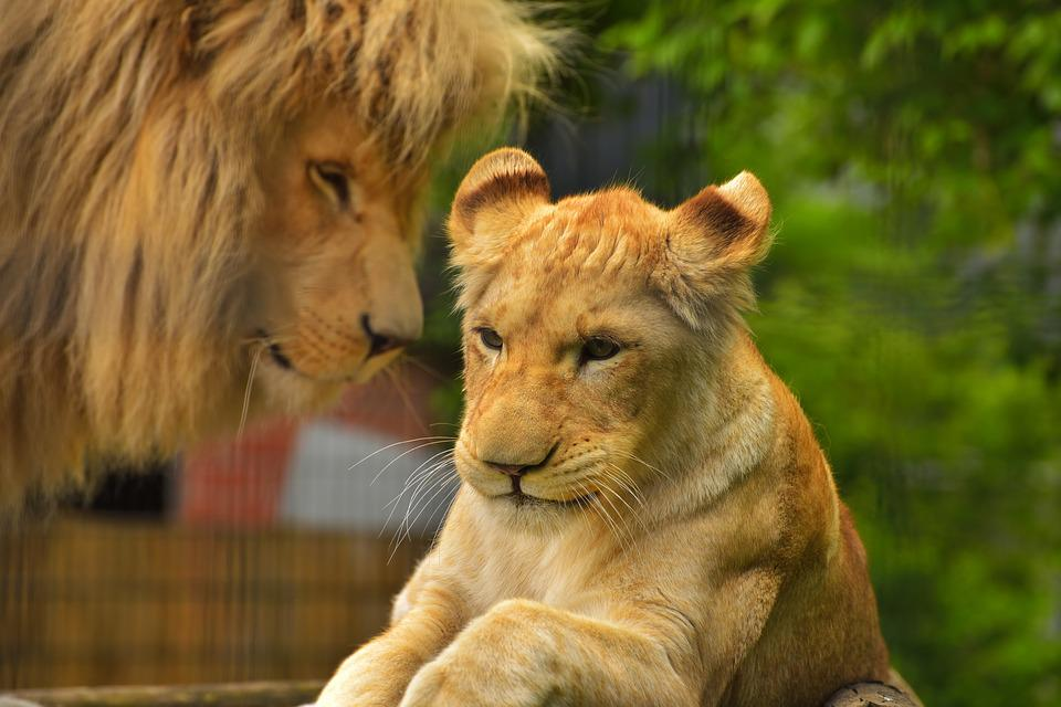 Free photo: Lion, Female, Predator, Cat - Free Image on ... Lioness And Lion