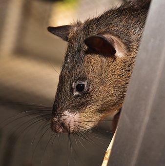 Rat, Giant Rat, Gambian Rat