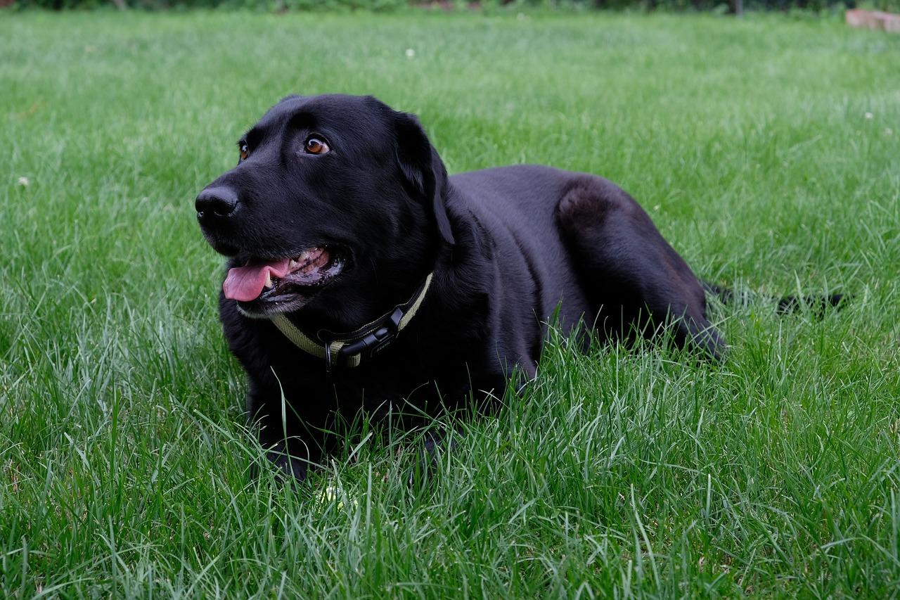 фотографии собак лабрадора черного иногда фото получаются