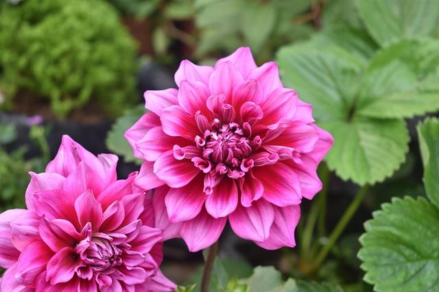 Flower Dahlia Pink · Free photo on Pixabay