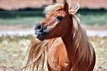 shetland, chestnut, pony