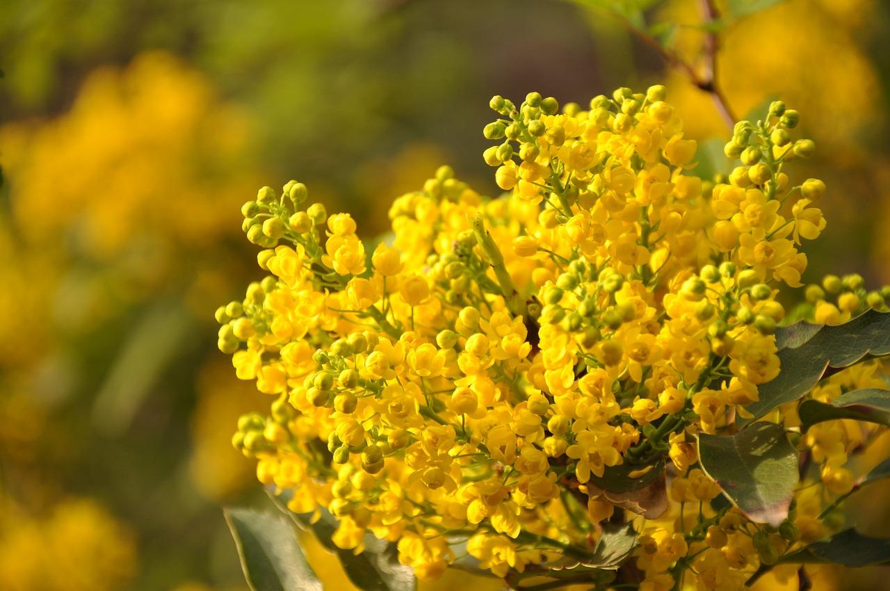 Фото цветов мимоза настоящая