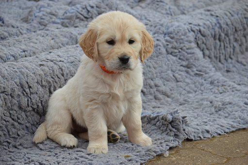 Dog, Golden Retriever, Puppy