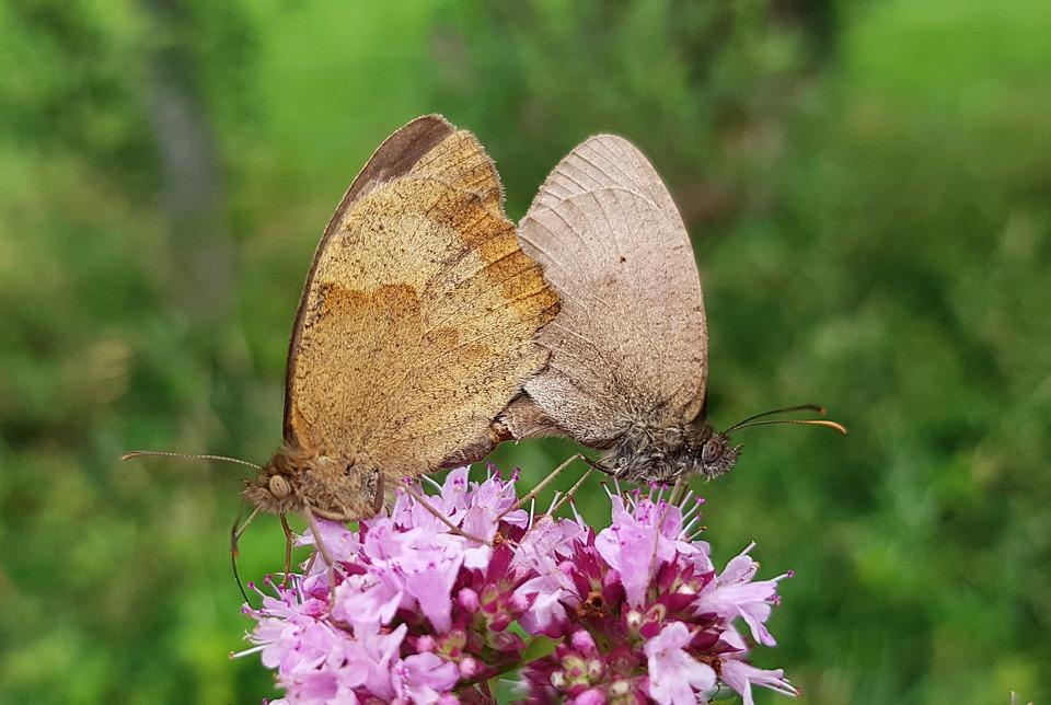Farfalle, L'Associazione, Farfalla, Riproduzione