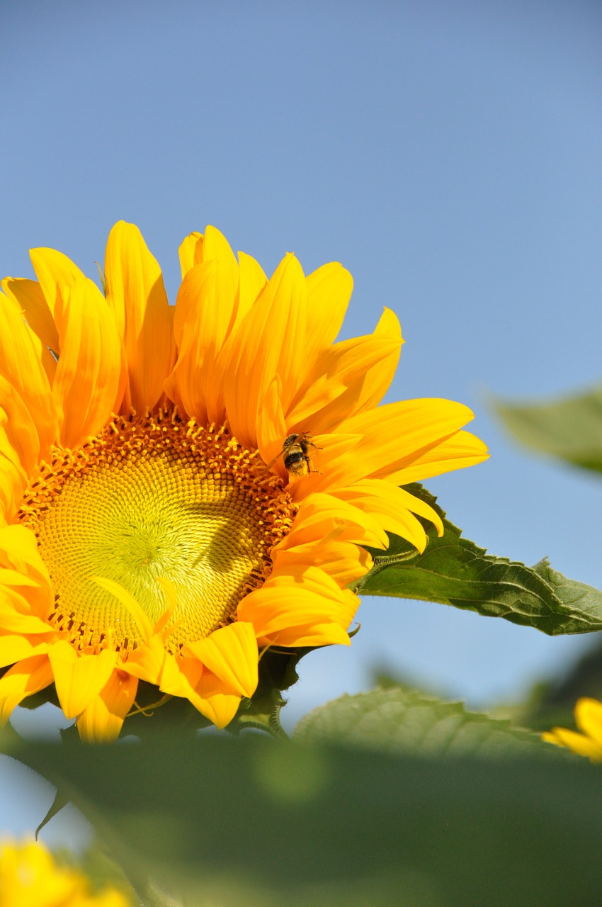 Images of Sunflowers Summer Windows 7 - #SC