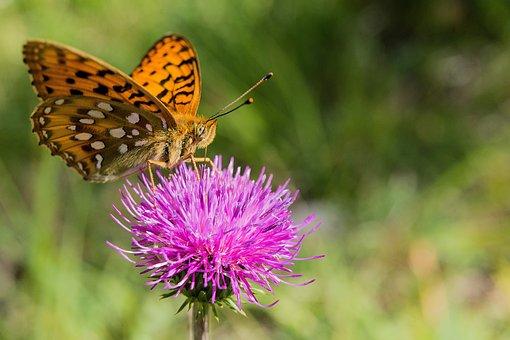 Schmetterling, Blume, Blüte, Insekten