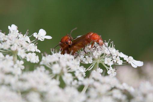 Meadows-Yarrow, Achillea Millefolium