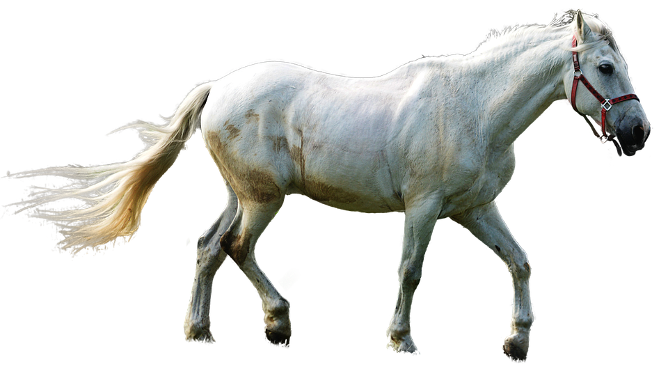 Pferd freigestellt schimmel kostenloses foto auf pixabay pferd freigestellt schimmel mhne figur reiten thecheapjerseys Images