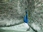 peacock, zeal, male